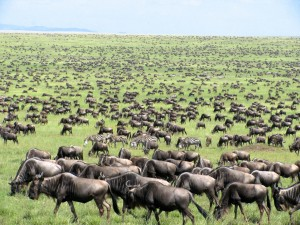 Great-Migration-Tanzania-Kenya-Masai-Mara-Serengeti-East-Africa-herd-123934744